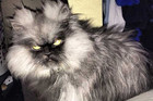 Colonel Meow, The Angriest Cat In The World