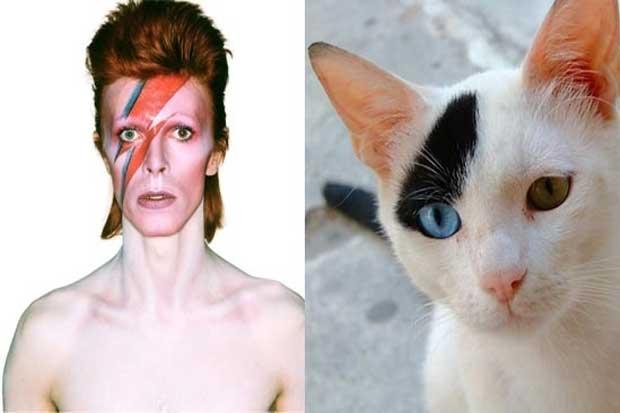 David Bowie vs. This Cat