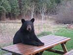 Bears Who Think They Are At Some Kind Of A Picnic