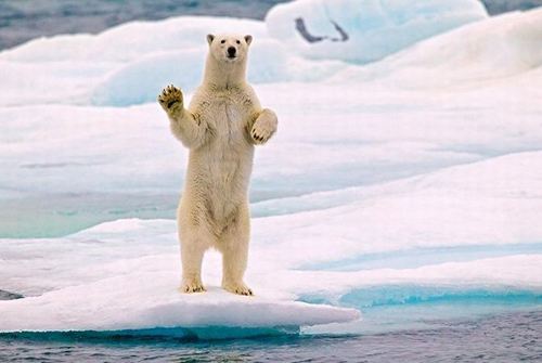 Polar Bears Who Think They Are Waving Goodbye