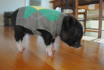 Teacup Pigs Who Think They Are At Prep School