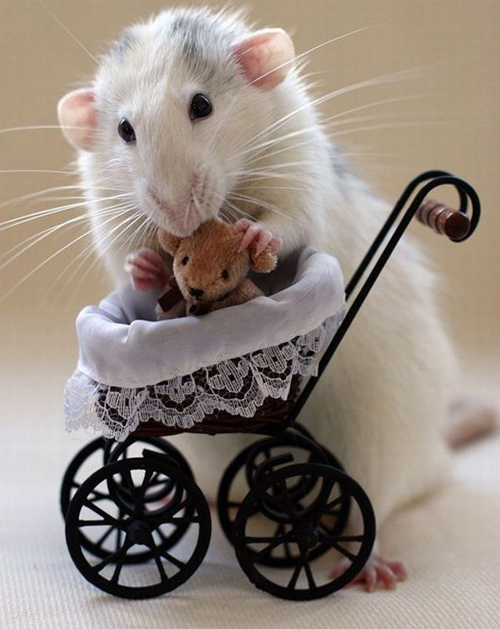 Rats Who Think They Are Early 19th Century Housewives