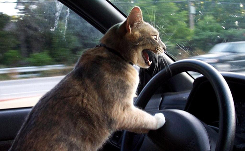 Cats Who Think They Are Reckless Drivers