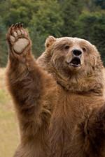 Bears Who Think They Are Hailing A Cab