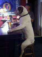 Bulldogs Who Think They Are Barflies