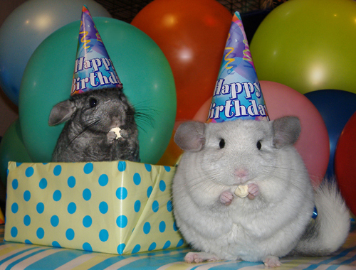 Chinchillas Who Think They Are At A Birthday Party