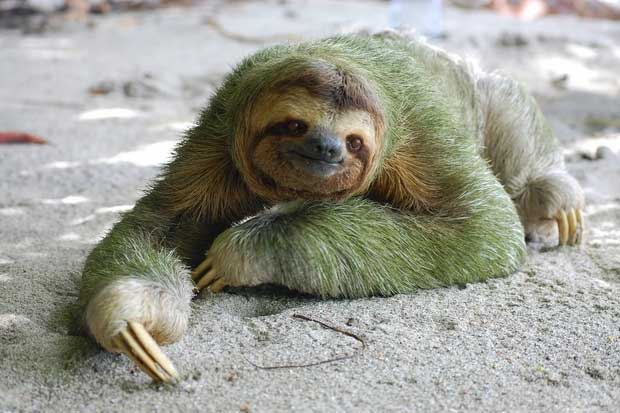 Sloth Smiling The 20 cutest sloth smiles in