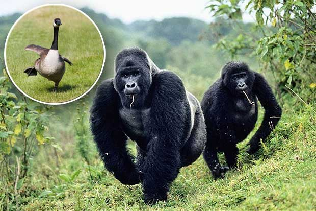 Самец и самка горной гориллы(Gorilla beringei beringei)переходят на новое м