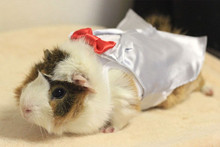 Guinea Pigs in Tiny Outfits!