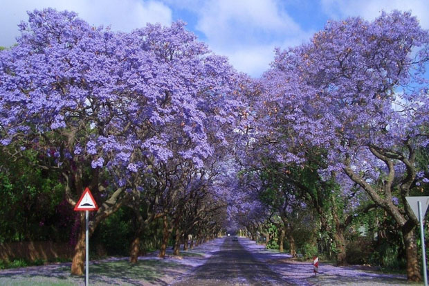 Jacarandas Walk, South Africa