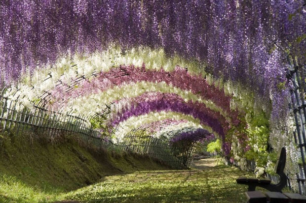 Wisteria Tunnel, Tochigi, Japan