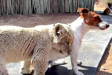 Cuuute! Newborn Lion Cub Makes Friends With Dogs