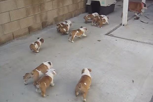 Cute! Bulldog Puppies Chase Their Mum