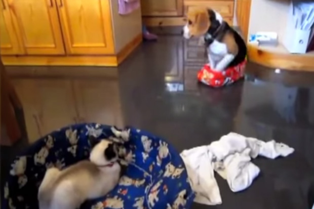 Hilarious! Sneaky Cats Stealing Dogs Beds