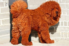 OMG World's Most Expensive (And Fluffiest) Dogs