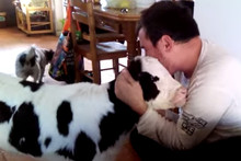 Cute! This Guy's Pet Calf Acts Just Like A Dog