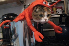 Cats That Are Unimpressed by Halloween Costumes