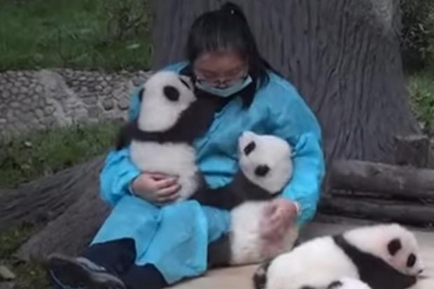 China wants to pay someone $50,000 to hug pandas all day