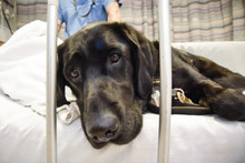 This beautiful dog never leaves his masters side, even in hospital
