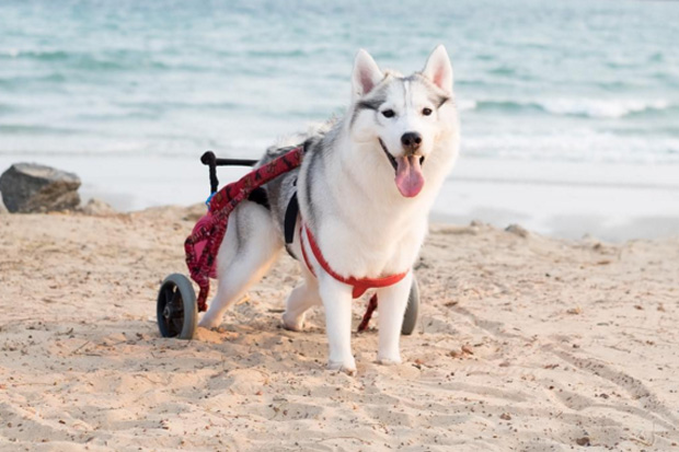 Husky born without paws gets a new lease on life with a wheelchair